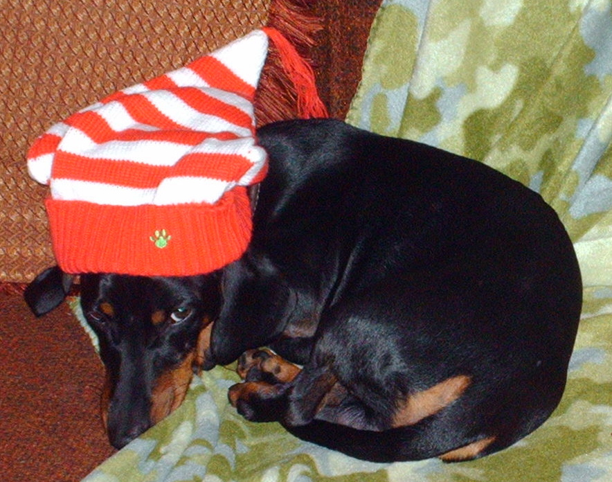 max with a Christmas hat on and not real amused